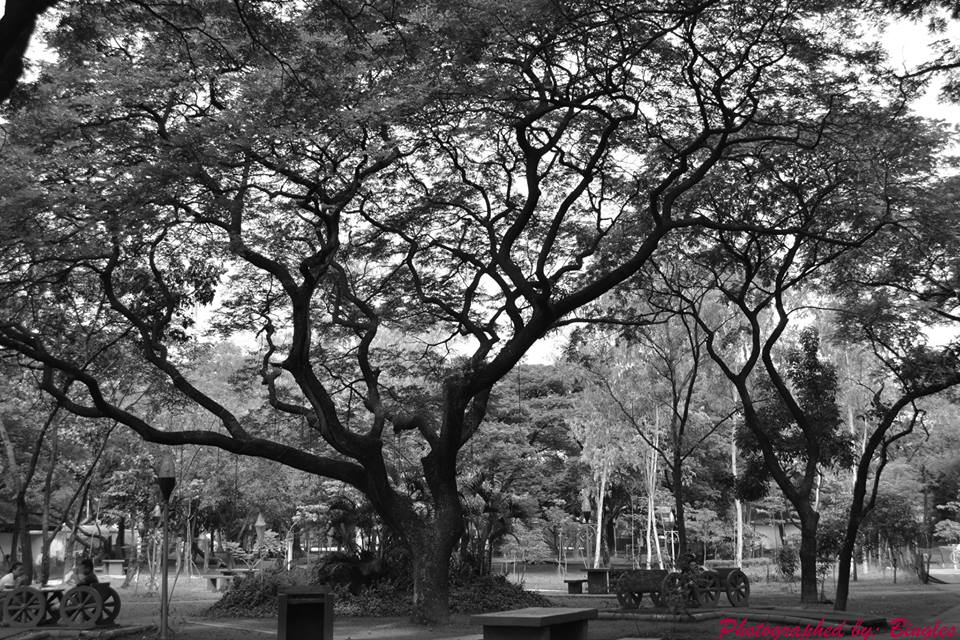 The tree of Quezon Memorial Circle -  by Bingles