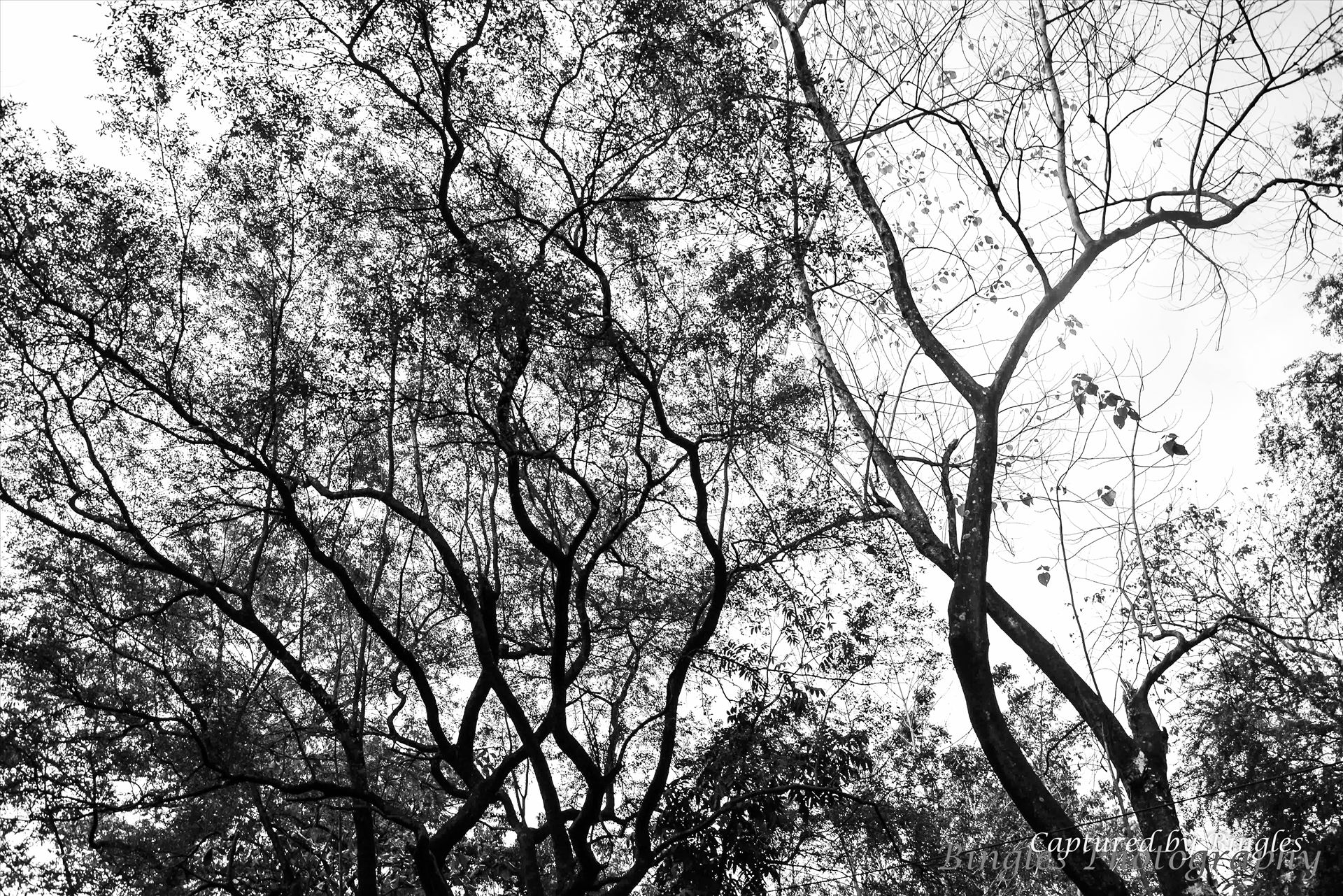 The Tree in Clarkfield, Pampanga -  by Bingles